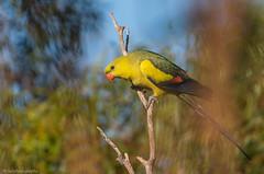 Regent Parrot Polytelis anthopeplus Psittacidae (Mykel46) Tags: birds nature wildlife sony a7r3 a7rmk3 gluepot reserve 100400mm