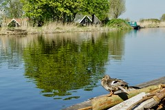 DSC06581 (hofsteej) Tags: middendelfland holland netherl netherlands zuidholland vlaardingervaart vlaardingsekade broekpolder natuurmonumenten april