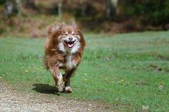 pure joy 17/52 (sure2talk) Tags: purejoy tasku finnishlapphund happiness running action smile newforest nikond7000 nikkor70300mmf4556afsifedvr we2942018 52weeksfordogs 1752