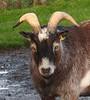 Komm` schon her... (Silkes Sicht der Dinge) Tags: ziegenbock animal