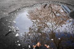 Cherry Blossom Mirror (Bauer Florian) Tags: magic colour wasser spiegelung cherry blossom abstraktes pfütze