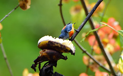 Orange-bellied Flowerpecker (Dicaeum trigonostigma) (Steve Arena) Tags: dicaeumtrigonostigma orangebelliedflowerpecker flowerpecker bansongnok kaengkrachan phetchaburi petchaburi thailandbirding2017 thailand 2017 bird birds birding baansongnok