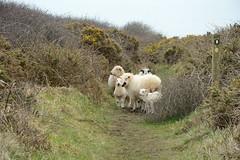 Familienwandertag (Caora) Tags: england swcp coast path southwestcoastpath