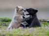 Serious Argument (~ Bob ~) Tags: fox nikon cute mammal baby nature d500 feisol kit washingtonstate wildlife