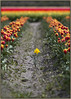 Tulips 59 (FarhadFarhad .(Farhad Jahanbani)) Tags: tulips daffodil skagit valley tulip festival washington state