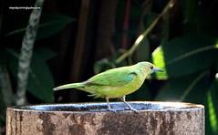 DSC01067 Jerdon's Leafbird-Female (Chloropsis jerdoni) (vlupadya) Tags: greatnature animal aves fauna indianbirds jerdons leafbird chloropsis kundapura karnataka