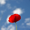De feu et d'azur (Michel Seguret Thanks for 11,8 M views !!!) Tags: france herault michelseguret nikon d800 pro fleur fleurs flower flowers blume fiore fiori flore flor coquelicot coquelicots poppy poppies rouge red rot rosso rojo bleu blue blu ciel sky himmel cielo