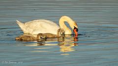 Mute Swans (Bob Gunderson) Tags: birds california cygnusolor lasgallinas marincounty muteswan northbay northerncalifornia swans