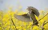 Yellow...... (Fabrizio Comizzoli) Tags: strillozzo yellow giallo colza ali volo