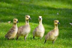 Cuteness Day at Mill Lake (Neal D) Tags: bc abbotsford milllake bird goose gosling canadagoose brantacanadensis