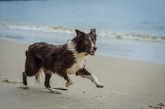 Kyra correndo (mcvmjr1971) Tags: trilhandocomdidi 50mmf18d brasil d7000 diego outono bordercollie cachorro dog litoral mar mmoraes nikkor nikon niterói praiadeitaipu regiãooceânica riodejaneiro seaside