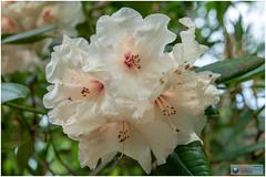 kris003 (fotoWS5720) Tags: rhododendron flower arboretum trompenburg rotterdam nature