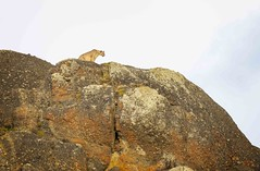 King of the Mountain (Glatz Nature Photography) Tags: chile glatznaturephotography magallanes nature nikond850 patagonia southamerica torresdelpainenationalpark wildanimal wildlife puma pumaconcolor bigcats mountainlion cougar cliff mountain rock sky
