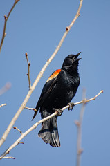Red Wing Black Bird (danhusseyphoto) Tags: red wing black bird winnipeg manitoba canada caw sing perch tree song blackbird animal birding watching