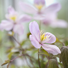 Clematis Montana (photoart33) Tags: clematis montana flower spring climber square botanical macro soft pink green