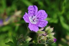 Wild Flower (Hugo von Schreck) Tags: hugovonschreck wildflower wildblume blume blüte macro makro canoneos5dsr fantasticnature tamron28300mmf3563divcpzda010 greatphotographers