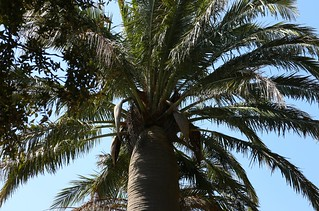 Chilean Wine Palm, Torquay, England