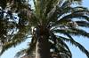 Chilean Wine Palm, Torquay, England (Torquay Palms) Tags: torquay torbay tor bay the english riviera south devon westcountry england uk meadfoot chilean wine palm jubaea chilensis may spring 2018 canon eos m