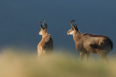 2 frères (Eric Penet) Tags: chamois vosges france wildlife wild faune nature rupicapra montagne hohneck animal sauvage alsace lorraine est printemps mai mammifère mâle mammal bouc soleil sun sunrise
