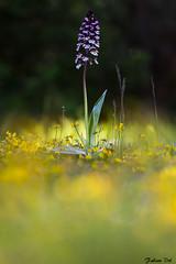 IMG_8277 Essonne - Orchis pourpre - Orchis purpurea (fabianvol) Tags: prairie grassland pastizal france francia plante plant planta fleur flower flor orchidaceae orchidée orchid orquídea orquidácea