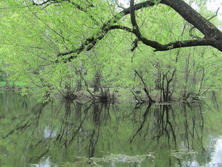 boughs, trunks and their reflections