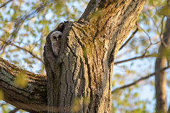 Barred Owlet peeking out (NicoleW0000) Tags: barredowl owlet baby cute tree woods wildlife naturephotography ontario canada