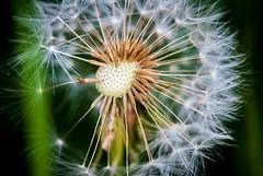 Dandelion (wolfgangdewit) Tags: löwenzahn taraxacum dandelion
