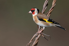 goldfinch (leonardo manetti) Tags: bird nature red winter colours naturephotography field natural nikkor countryside green morning black albero dawn cloud clody robin foto uccello goldfinch macro animale