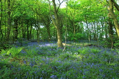 May it be Blue (worldthroughalens74) Tags: may blue bluebells wildflowers trees green woodland nature outdoors canon sigma uk england staffs
