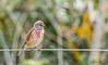Linnet (_John Hikins) Tags: linnet bird birds animal nikon nikkor nature wildlife woods bokeh devon d500 dawlish warren sigma 150600mm 150600c 150600
