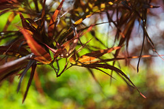 Textures of Trees 0216 (Thorbard) Tags: kingstonlacy nationaltrust spring spring2018 trees acerpalmatum acer leaves bokeh blur background canonefs1585mmf3556isusm depthoffield detail depth macro