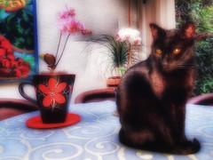 Dedicada a Finn Frode gran admirador de los gatos. (FOTOS PARA PASAR EL RATO) Tags: cdmx mesa equipales flores orquídeas gatonegro gatos negro gato cats cat