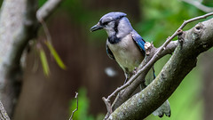 IMG_1172 (brian.a.stamper) Tags: bird bluejay cyanocittacristata
