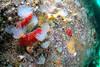 ScotlandWest-201804-Oban-AulistonPt-4-Anemone-SeaLoch-OnSeaSquirtsOutcrop (Tony J Gilbert) Tags: wwwlochalineboatscouk scotland scubadiving marine diving marinefish nikond300 60mmlens 105mmlens underwater underwaterphotography travel travelogue scottishtravel scottishscubadiving scottishlandscapes scottishwildlife
