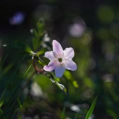 Anemone nemorosa (Stefano Rugolo) Tags: stefanorugolo pentax k5 pentaxk5 helios44258mmf2 anemonenemorosa wildflower spring vintagelens manualfocus primelens flower bokeh backlight helios442