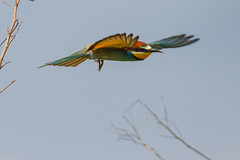 20mai18_16_prigorii prundu 16 (Valentin Groza) Tags: prigorie prigorii bee eater merops apiaster romania summer bird flight bif birdwatching outdoor