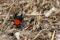 Ladybird Spider (ietion) Tags: eresus sandaliatus spider red greece delphi ancient back ef 70200mm canon