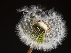 D is for dandelion 01 may 18 (Shaun the grime lover) Tags: detail garden macro flower seeds dandelion dandelionclock