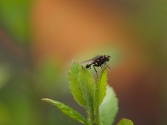 Fliege (ISOZPHOTO) Tags: fliege fly insekt insect fauna bokeh makro macro olympus e620 zuiko 40150 ex25 wow superb nahaufnahme wildlife natura nature natur dof depthoffield schärfentiefe insecte inseto insetto oly dslr spiegelreflex ft fourthirds 43 mzuiko isozphoto evolt 2018