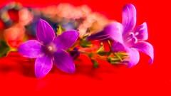 RED - 5127 (YᗩSᗰIᘉᗴ HᗴᘉS +15 000 000 thx) Tags: lx15 red flower vivid soft fractale lumix hensyasmine namur belgium europa aaa namuroise look photo friends be wow yasminehens interest intersting eu fr greatphotographers lanamuroise