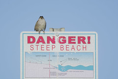 Not What It's Cracked Up To Be (opheliosnaps) Tags: bird sign danger warning beach goat rock state white crowned sparrow zonotrichia leucophrys wild nature outdoors sand blue sky shapes