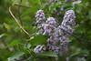 DSC08079 (Old Lenses New Camera) Tags: sony a7r graflex graftar wollensak 103mm f45 plants garden trioptar tree flowers lilac