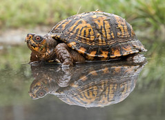 box turtle in the rain (watts_photos) Tags: box turtle rain water turtles terrapin reptile reptiles nature yellow black green reflection reflections orange eye terrapins eastern north american