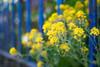 Blankenese Blues (Karsten Gieselmann) Tags: 1240mmf28 blau bokeh dof em5markii frühling gelb grün jahreszeiten mzuiko microfourthirds olympus schärfentiefe zaun blue fence green kgiesel m43 mft seasons spring yellow hamburg deutschland fencefriday
