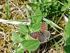 "der ""Hundsrücken"" in der Eifel im Mai (mama knipst!) Tags: schmetterling butterfly eifel natur mai"