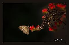 SHF_6734_Butterfly (Tuan Râu) Tags: 1dmarkiii 14mm 100mm 135mm 1d 1dx 2470mm 2018 50mm 70200mm canon canon1d canoneos1dmarkiii canoneos1dx butterfly bướm hoa flowers lighting ánhsáng boder tuanrau tuan tuấnrâu2018 râu httpswwwfacebookcomrautuan71