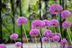 My Garden. (nyomee wallen) Tags: httpsyoutubewilosoqp400 mygarden welcometomygarden longlegsbeauty longlegsbeauties flordelalliumflowerallium