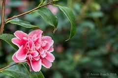 20180203_082 (Thorndike.ar) Tags: camelliajaponica cologne deutschland europa europe flora germany kamelie kamelienausstellung köln nordrheinwestfalen northrhinewestphalia strauch tamabambino