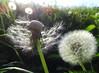 Dandelions (Tabea-Jane) Tags: dandelions sunlight grass meadow park nature löwenzahn pusteblumen gras wiese sonnenlicht natur