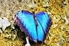 Morpho Blue (Pomerol) Tags: papillon butterfly blue color couleur nature beaute beauty beauté animal macro da bokeh bordeaux wildlife 300mm eye vert pentax oeil k3 green insecte limited life jaune morpho supershot portrait